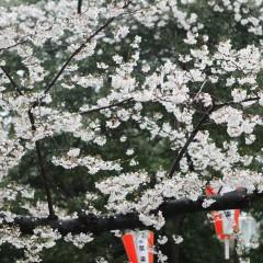 Mulai dari akhir bulan Maret 2016, Bunga SAKURA merupakan salah satu identitas dan simbol yang melambangkan budaya Jepang.