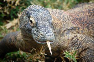 インドネシアの世界自然遺産コモド島が2020年1月から閉鎖、観光客立ち入り禁止に