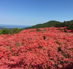 The coming best season wild mountain azaleas in Mt. Tokusenjo, Kesennuma. Let's go journey to Tohoku, Japan!